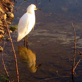 Chris Mercer - Snowy Egret 000