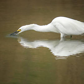 Snowy Egret 3028-091918-1cr by Tam Ryan