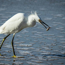 Elizabeth Waitinas - Snowy Egret at the Beach