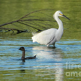 Snowy Egret Meets the Pied-billed Grebe by Priscilla Burgers