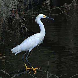 Snowy Egret Perched by Jerry Griffin