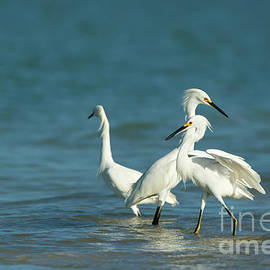 Snowy Egrets by Beve Brown-Clark Photography