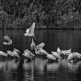 Snowy Egrets Liftoff 1801-012018-1-bw by Tam Ryan