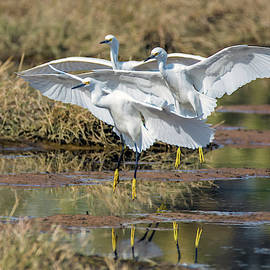 Snowy Egrets Three 0743-111718-1cr by Tam Ryan