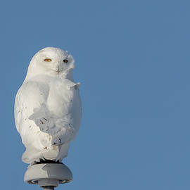Snowy Owl 2019-5 by Thomas Young