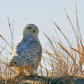 Snowy Owl On Dune  by Geraldine Scull