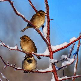 Snowy Sparrow Perch by Dana Hardy