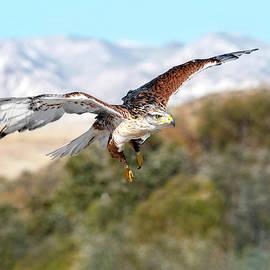 Soaring Ferruginous Hawk by Judi Dressler