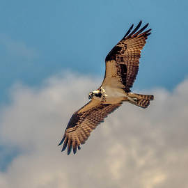 Soaring Osprey by Donald Lanham