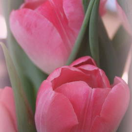 Soft and Pink Tulips by Kay Novy