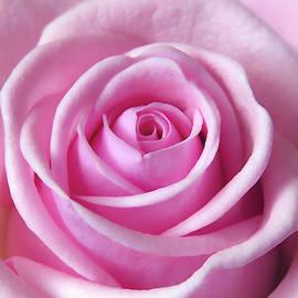 Soft Light Pink Rose by Johanna Hurmerinta