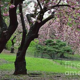 Soft Pink Petals of Spring - Central Park New York by Miriam Danar