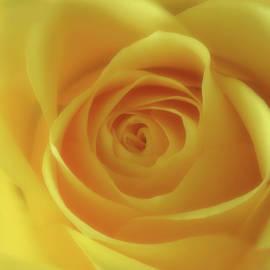 Soft Yellow Rose by Johanna Hurmerinta