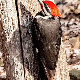 Sometimes hard to fine Woodpecker by William Rogers