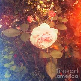 Song of the Rose by Miriam Danar