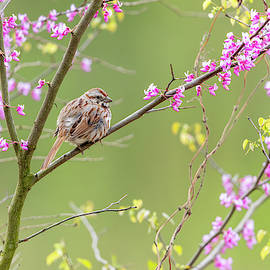 Song Sparrow - 2019050817 by Mike Timmons