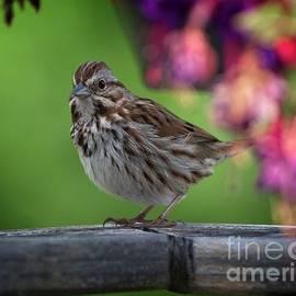 Song Sparrow by Douglas Stucky