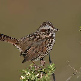 Song Sparrow, Marin County California by Doug Herr