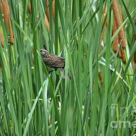 Song Sparrow On Tall Grasses by Ruth Housley