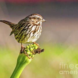 Songster Perching by Kate Brown