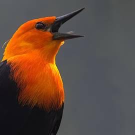 Soprano - Scarlet-headed Blackbird by Chrystyne Novack
