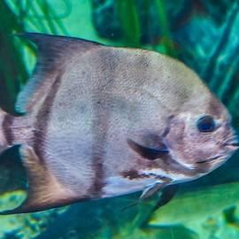 Spadefish  by Jeremy Guerin