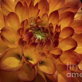 Sparkling Dahlia by Linda Howes