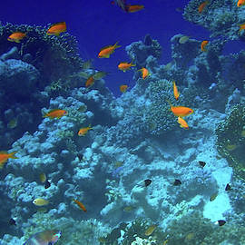 Spectacular Red Sea With Anthias And HalfAndHalfChromis by Johanna Hurmerinta