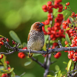 Spice Finch on Red Berry Bush 1 by Linda Brody