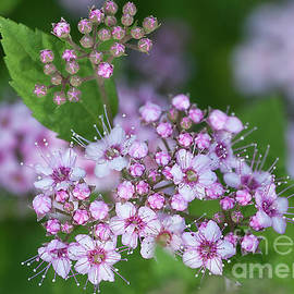 Spirea by Ann Jacobson