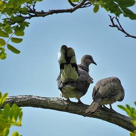 Spotted Doves Pair by Joan Stratton