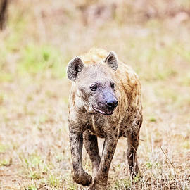 Spotted Hyena by Scott Pellegrin