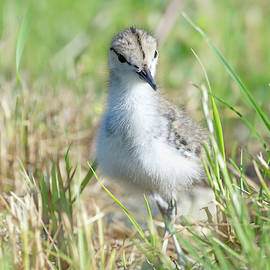 Spotted Sandpiper Chick 01 by Judy Tomlinson