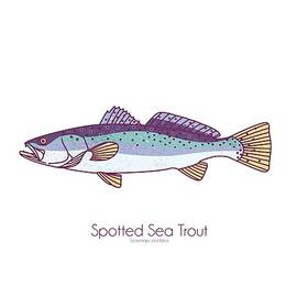 Spotted Sea Trout by Kevin Putman