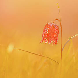 Spring DeLight - Snake heads Fritillary  by Roeselien Raimond