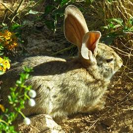 Spring Desert Cottontail by Judy Kennedy