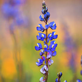 Spring Lupine by Sue Cullumber