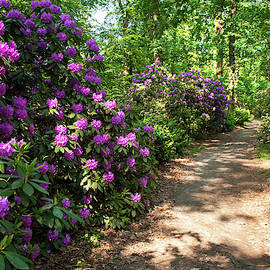 Spring Marvels. Purple Rhododendron Blooms by Jenny Rainbow