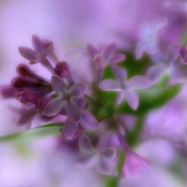 Springtime Lilacs by Liz Albro