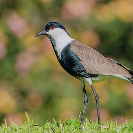 Spur-Winged Lapwing by Morris Finkelstein