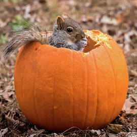 Terry DeLuco - Squirrel In Pumpkin Square