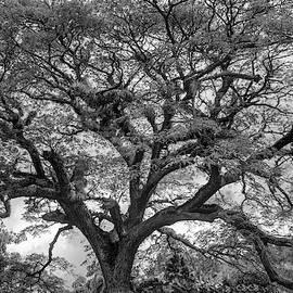 St. Kitts Saman Tree Bw by Kristia Adams
