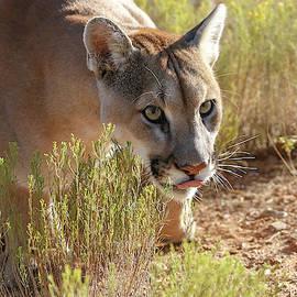Stalking Cougar  by Athena Mckinzie