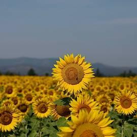 Standout sunflower by Lynn Hopwood