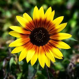 Star Sunflower by Dana Hardy
