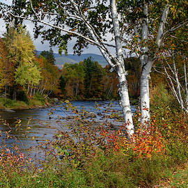 Stark, Nh Fall White Birch  by Betty Pauwels