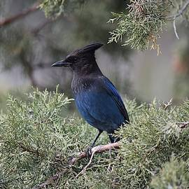 Stellers Jay in Juniper Tree by Dana Hardy