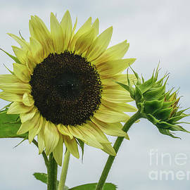 Strawberry blonde sunflowers by Claudia M Photography