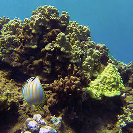 Striped Butterfly Fish by Anthony Jones