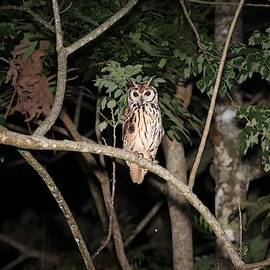 Striped Owl Costa Rica by Marlin and Laura Hum